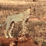 Time to survey the area...cheetah at Tsavo East National Park.