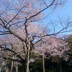 日本庭園の大きなソメイヨシノです
