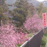 2019.3.30(土)☔綺麗に咲いとるよッ😊
