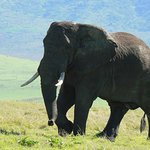 Elephant in the Ngorongoro Crater Tanzania