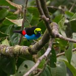 Paradise tanager from room 8
