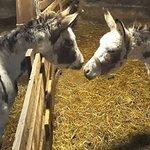 Les animaux de la ferme, les ânes.