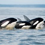 Vancouver Island's Ultimate Full-Day Whale and Wildlife Tour