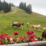 Cows at Trije ploti