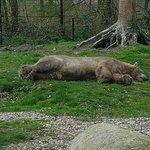 Luie ijsbeer in AquaZoo