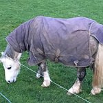 Pony Eating Grass.
