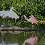 Just chatting, not fighting among the roseate spoonbills and great egret.