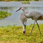 Sandhill Cranes are very elegant and they are also devoted parents.