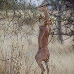 Long Neck Gerenuk at Samburu, Kenya. On Safari with Features Africa Journeys.