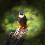 Bat Falcon / Monteverde Wild Hikes / Monteverde, Puntarenas, Costa Rica