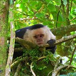 White Throated Capuchin Monkey / Monteverde Wild Hikes / Monteverde, Puntarenas, Costa Rica