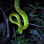 Side Striped Pal Pitviper / Monteverde Wild Hikes / Monteverde, Puntarenas, Costa Rica