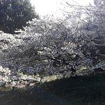 Cherry Tai Haku April