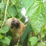 2-toed sloth seen on Sloth Tour, La Fortuna