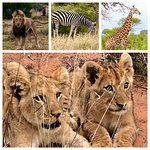 The animals are spectacular. Our guide & tracker found three female lions with their 8 cubs. No words.