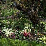 Primulas in spring 2019