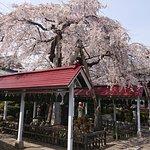 境内の桜が満開