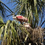 Roseate Spoonbill Nesting in the Park's Bird Rookery