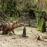 Large Boar