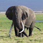 Amboseli Nationalpark - Dieser Elefant ist ca. 50 Jahre