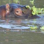 Flusspferd im See von der Lodge Voyager Ziwani
