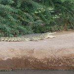 Krokodil  im See von der Lodge Voyager Ziwani - Fusswanderung