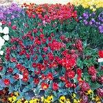 Csodás tulipánok