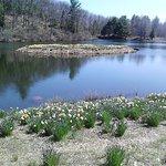 Daffodil Island