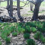 Daffodils by old stone wall
