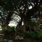 エントランスの目の前にあるアコウは樹齢400年以上もある大木で大迫力でした。
