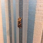 huge moth on the curtains