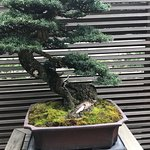 One of bonsai trees on display near entrance of the garden.  This particular tree is 150 years old.