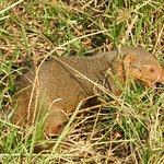Mongoose - Serengeti NP