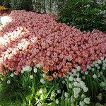 Tulipani Italiani Photo