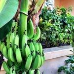 Fresh bananas :)