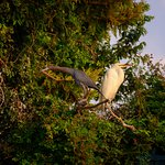 Little Blue and Great Herons