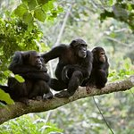 Gombe stream National Park, Chimpanzee relaxing at the tree branch looking to the Tourist. #whatasafari #chimpanzeetrekking #gombenationalpark