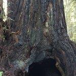 despite the destruction of a lighting strike this giant redwood lives on