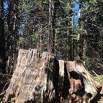 Big Stump Basin - stump (12)