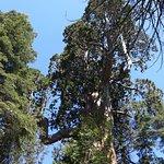 Big Stump Basin - older sequoia and survivor of the logging era