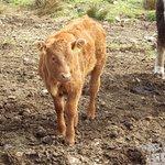 Calves were beautiful