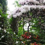 Rhoderdendrons/clematis