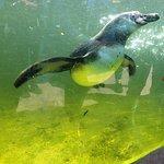 Humbolt penquin, under water