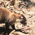 Coati in Corcovado.