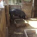 un cochon de race locale.