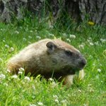 A Groundhog Stopped By