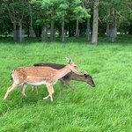 Deer at Farmleigh Woods