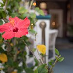 Our hibiscus bush in bloom