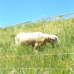 水族館屋外の羊