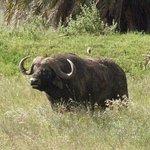 Cape Buffalo one of the Big Five